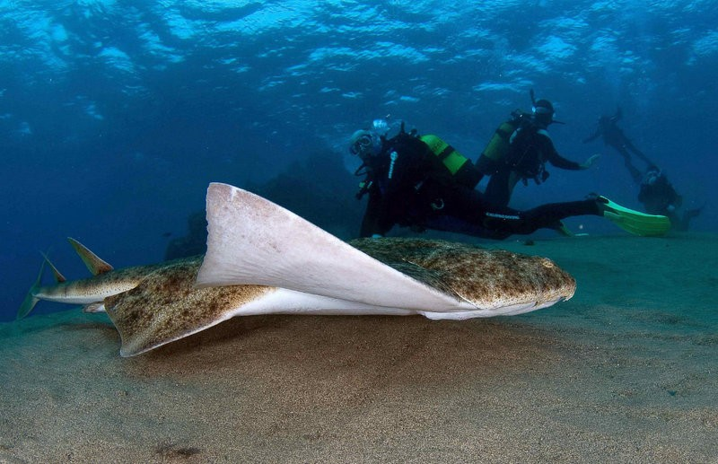 Angel shark breeding grounds identified in the Canaries
