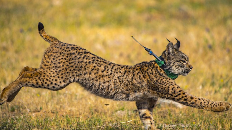 Three more Iberian lynx released into the mountains of Toledo