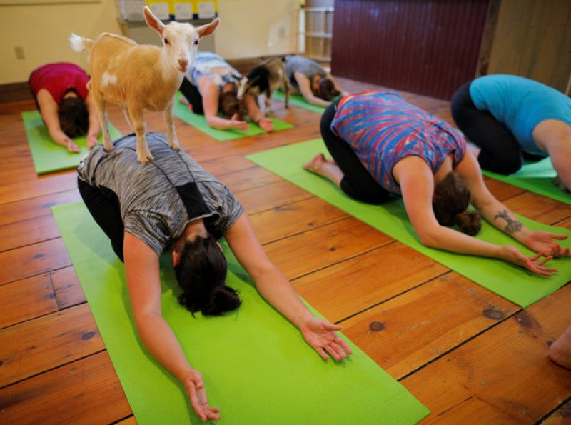 New Yoga trend, classes with goats at New Hampshire farm