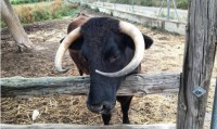 175,000 sign petition to save pet cow in Tarragona