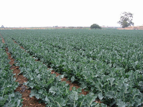 Broccoli production in Murcia has increased twelvefold since its introduction