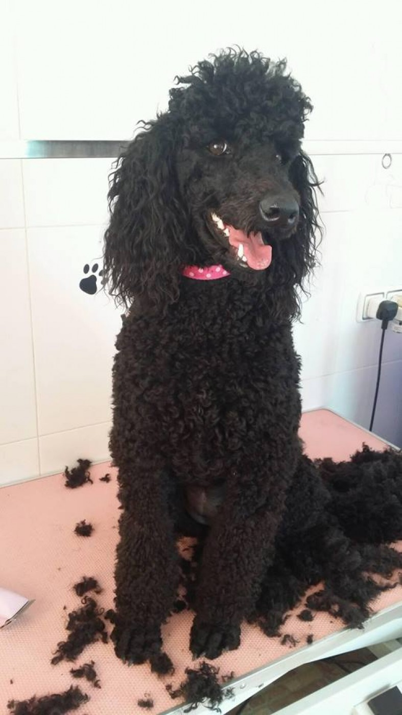 Pampered Paws, Dog grooming and clipping, based around Camposol Mazarron areas.