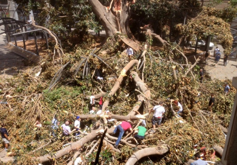 <span style='color:#780948'>ARCHIVED</span> - One reported injured as huge ficus tree collapses in the centre of Murcia