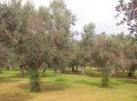 Murcia agriculturalists fear the arrival of olive tree ebola