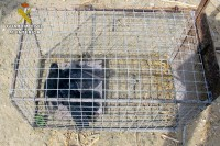 Illegal rabbit traps confiscated in Santomera