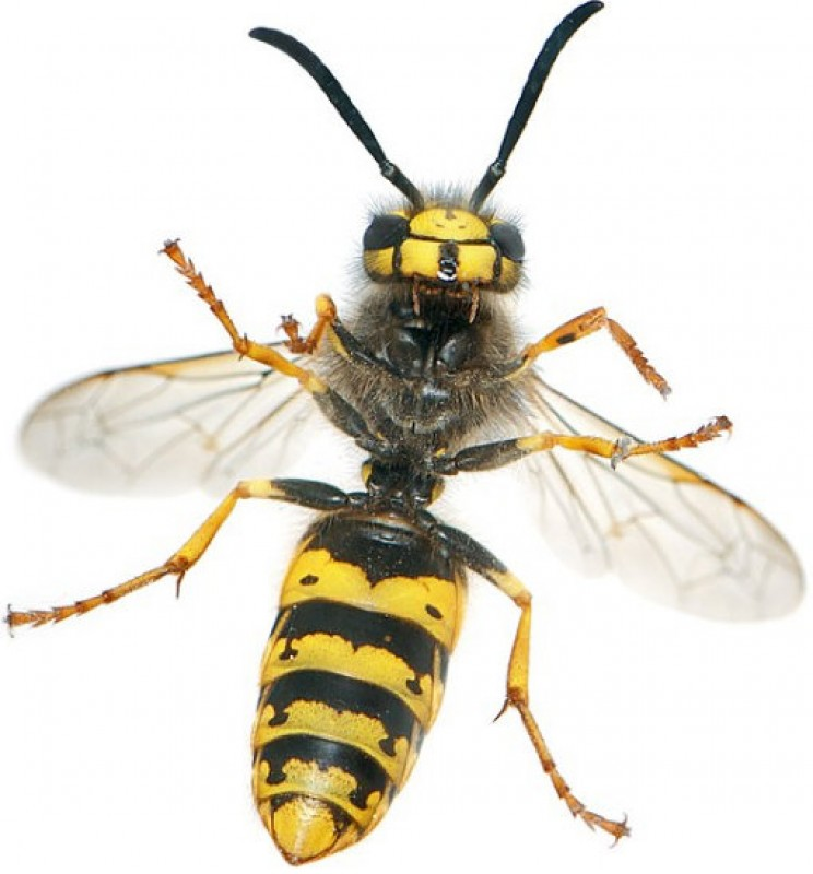 Wasp and bee stings increase in frequency in Murcia