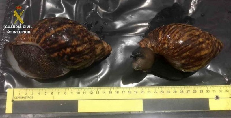 Giant snails taken into custody in Bilbao as illegal immigrants into Spain