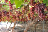 Murcia leads Spanish table grape production