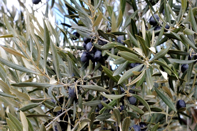 <span style='color:#780948'>ARCHIVED</span> - Spanish olive growers up in arms over protectionist US trade tariffs