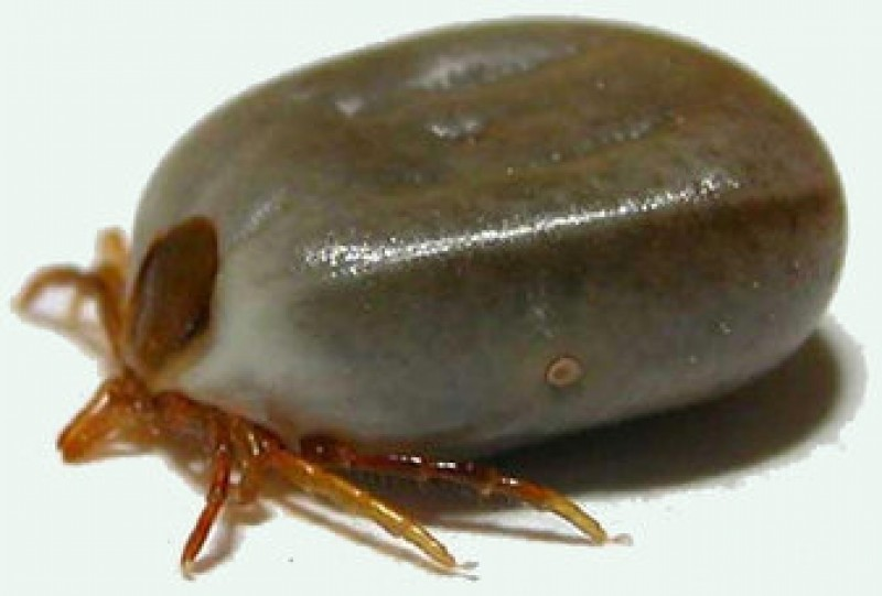Ticks and canine ehrlichiosis, threats to the health of dogs in Spain