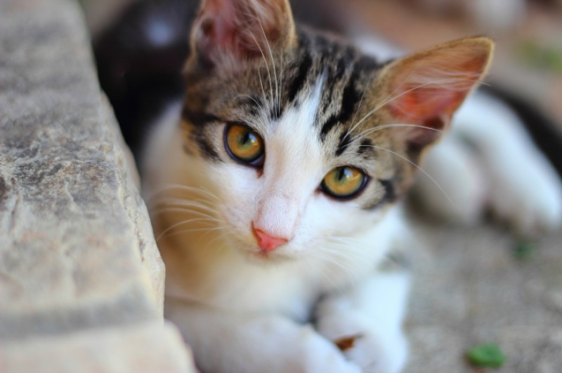 Diseases which can affect cats in the Region of Murcia
