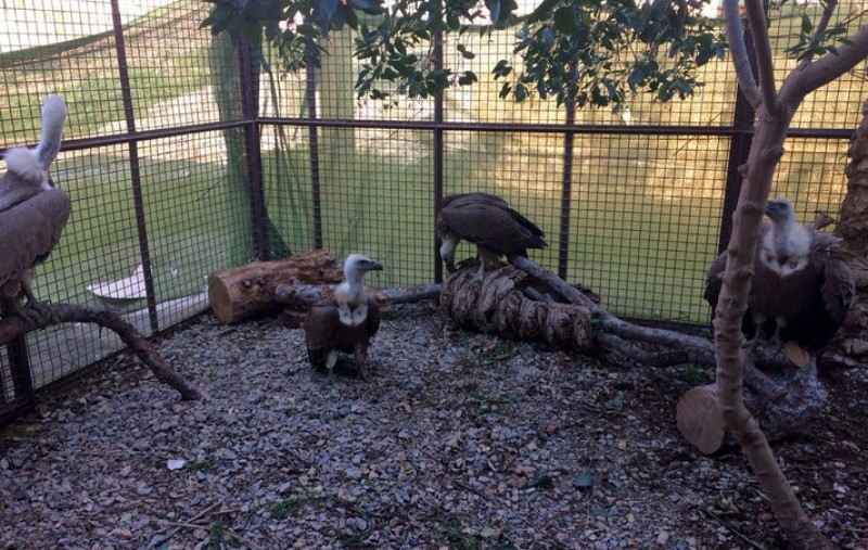 Rescued griffon vultures rehoused at Terra Natura in Murcia