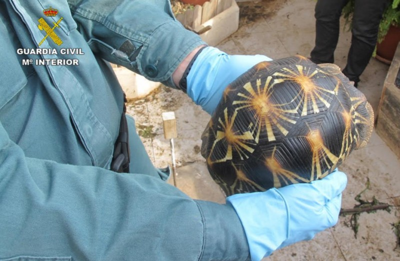 89 tortoises in protective custody as illegal breeder in San Pedro del Pinatar faces charges
