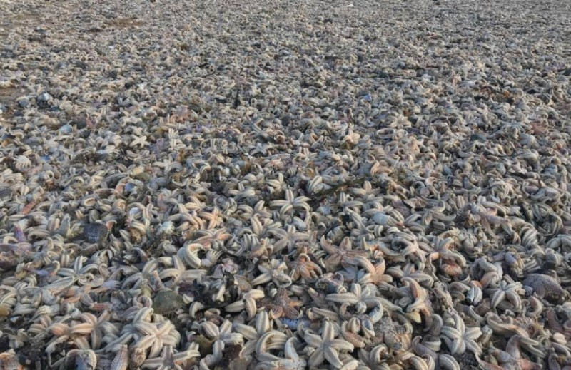 Thousands of starfish washed ashore at Huelva beach