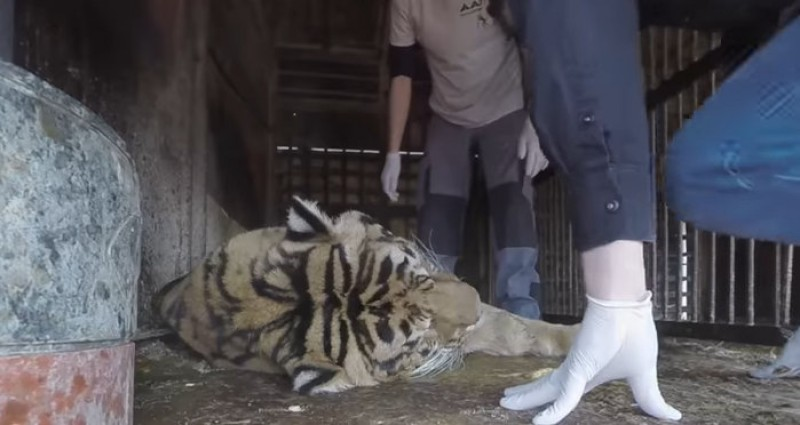 Former circus lions and tiger recovering in Alicante after being rescued in Murcia