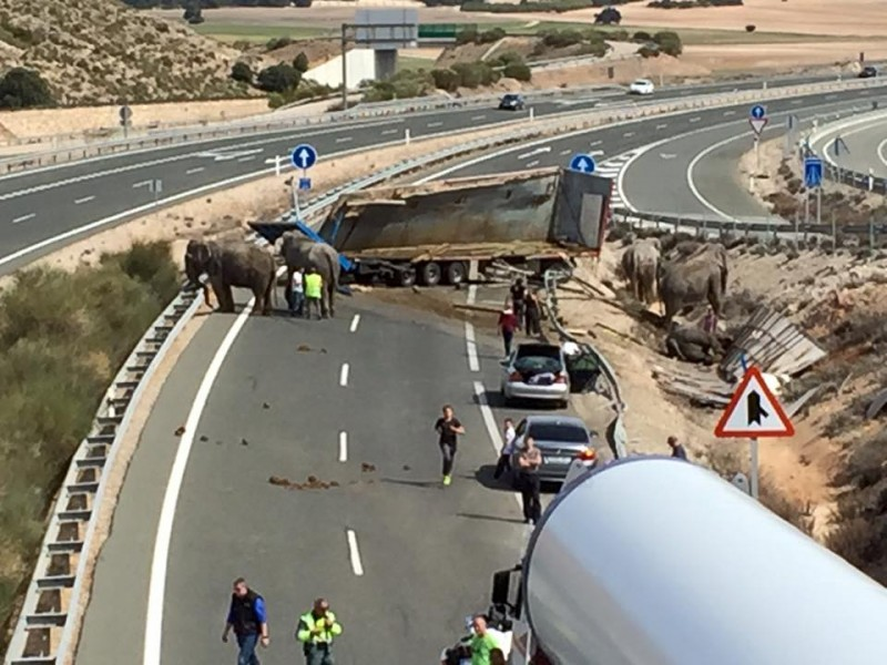 Elephants on the road block the A-30 heading towards Murcia
