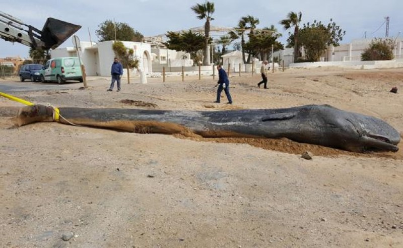 <span style='color:#780948'>ARCHIVED</span> - The whale washed ashore in Cabo de Palos was killed by plastic