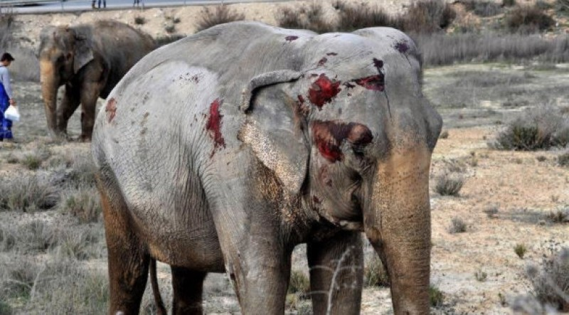 Campaign to save the Albacete road crash elephants from being returned to the circus