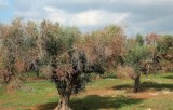 Another olive and almond ebola case detected in Alicante
