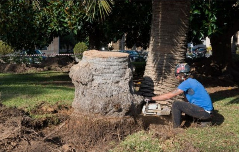 60 per cent of the Canary palms of Murcia have been destroyed by the red palm weevil