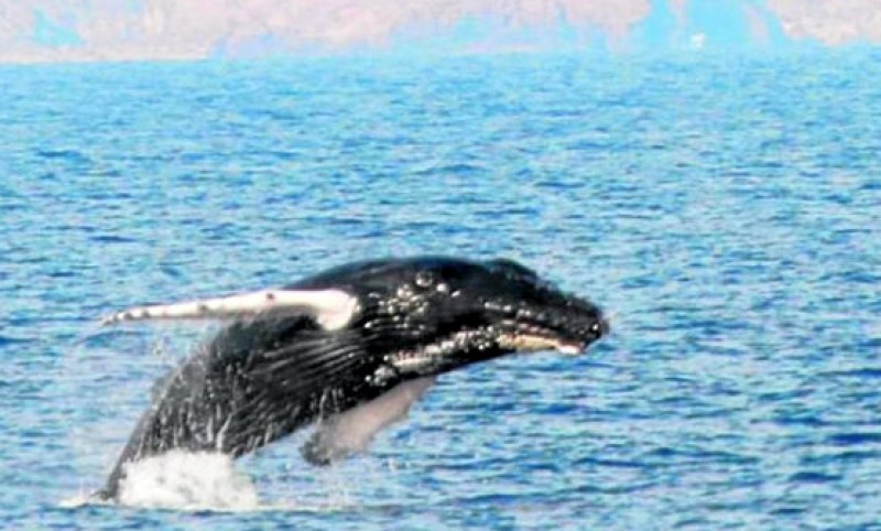 Humpback whale spotted off Cabo Tiñoso