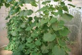 Gourd plants to protect tomatoes in the greenhouses of Murcia