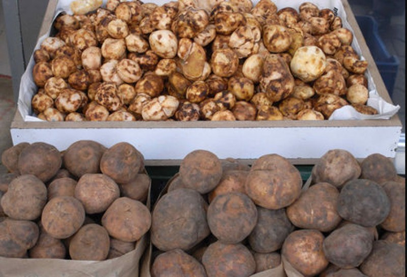 <span style='color:#780948'>ARCHIVED</span> - Desert truffles doing well at experimental plot in Torre Pacheco