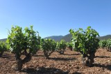 Thursday 27th September ENGLISH language guided Bullas wine tour (Bodegas Monastrell)