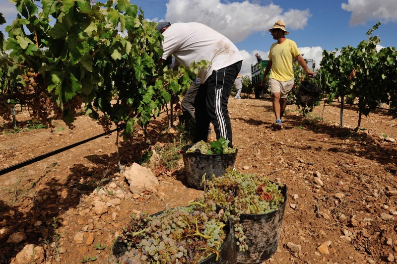 23rd September Yecla: 9km guided route through the vineyards and wine tasting