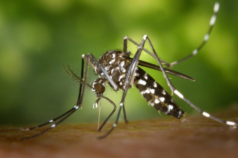 Dengue fever: the extent of the tiger mosquito threat in Murcia