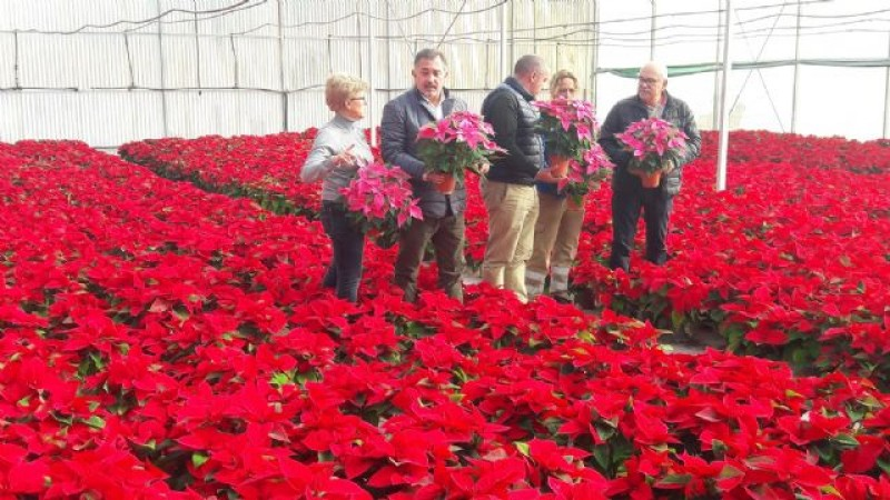 5,000 locally grown poinsettias ready to be planted as Lorca prepares for Christmas