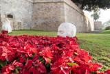 Poinsettias and cyclamens decorate the streets of Cartagena for Christmas