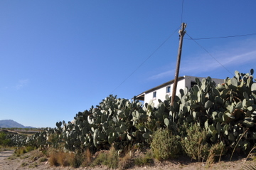 La Cochinilla del Carmin is destroying vast tracts of prickly pears