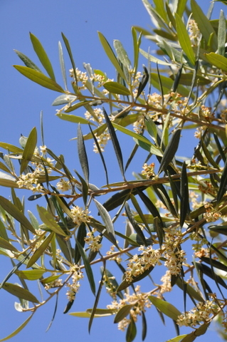 Murcia today murcia council under fire over olive tree for What to plant under olive trees