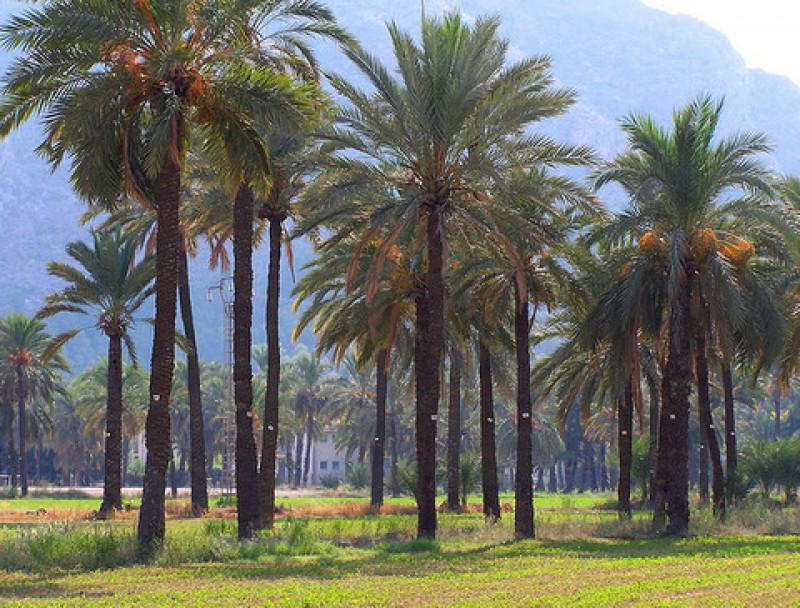 <span style='color:#780948'>ARCHIVED</span> - Murcia to be united to north Africa and Palestine by historic palm grove route
