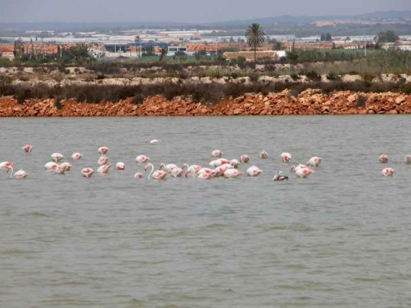 Flamingos busy applying make-up and dancing in the Salinas Regional Park