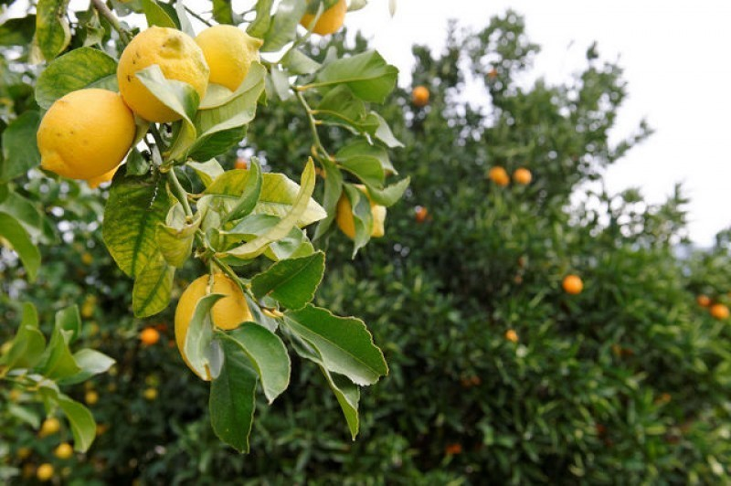 100,000 tons of lemons are being left on the trees in Murcia