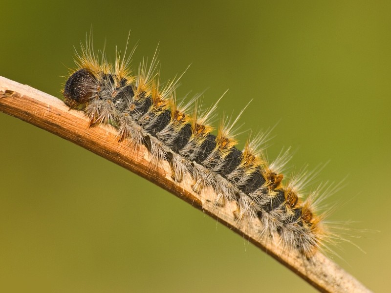 Alhama de Murcia warns that the processionary caterpillar season is at its peak
