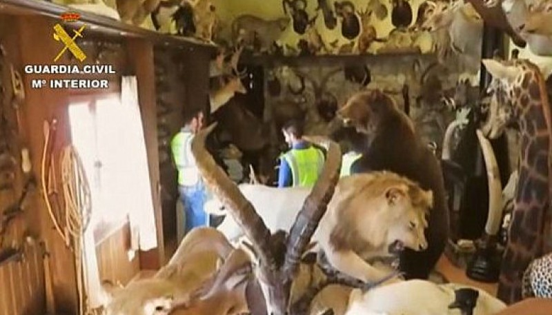 <span style='color:#780948'>ARCHIVED</span> - Elephant head confiscated in Navarra as illegal animal trading ring is busted