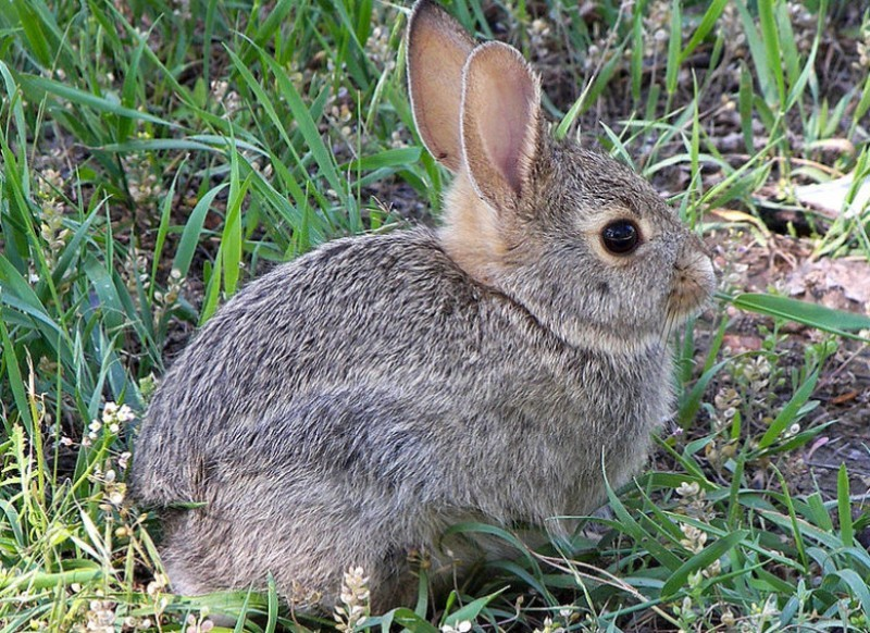 Rabbit cull to continue in central Murcia until at least October 2020