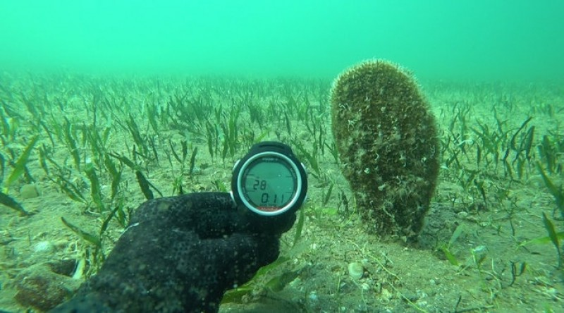 <span style='color:#780948'>ARCHIVED</span> - Colony of 70 giant fan mussels discovered in the Mar Menor