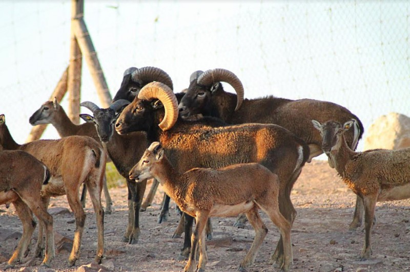 <span style='color:#780948'>ARCHIVED</span> - Five mouflon lambs born at the Terra Natura wildlife park in Murcia