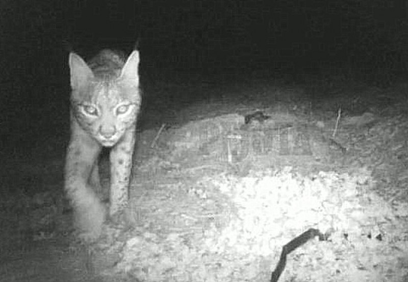 Iberian lynx spotted in the wild close to Yecla in the north of Murcia