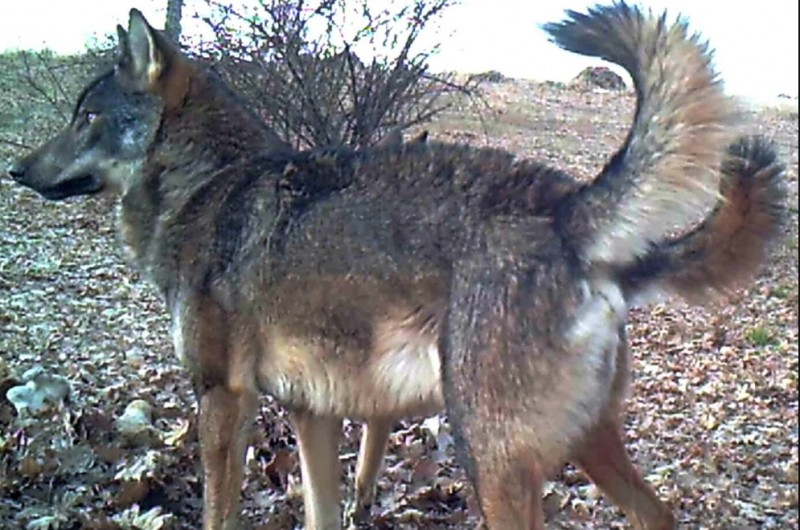 Wolf packs thriving in the mountains of Madrid