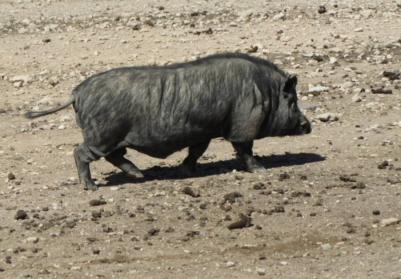 <span style='color:#780948'>ARCHIVED</span> - Pet Vietnamese pot-bellied pigs to be banned in Spain as of 2022