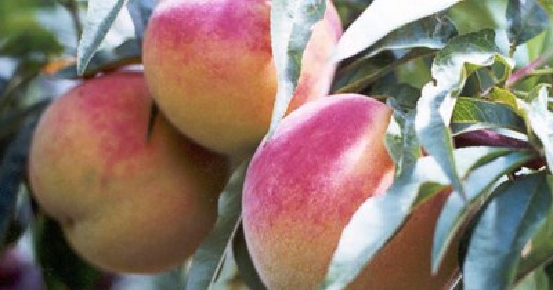 <span style='color:#780948'>ARCHIVED</span> - The recent frost cost Murcia fruit growers over 27 million euros