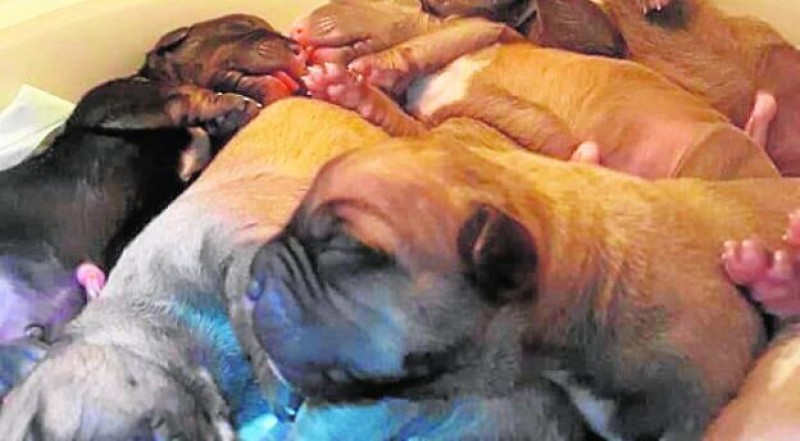 Illegal dog breeders face charges in La Unión