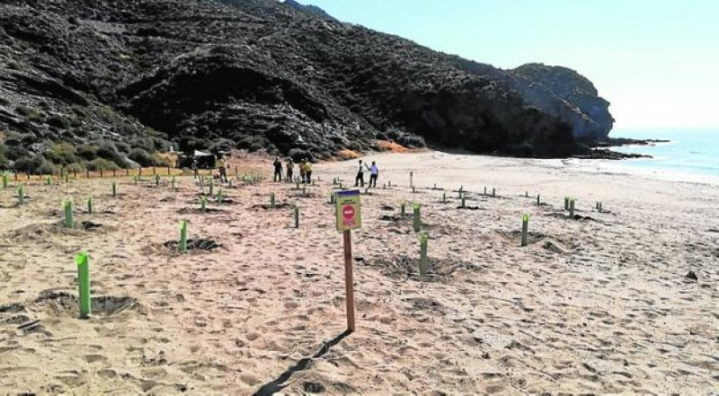 <span style='color:#780948'>ARCHIVED</span> - Re-planting under way at the beaches of Calnegre after tractor vandalism