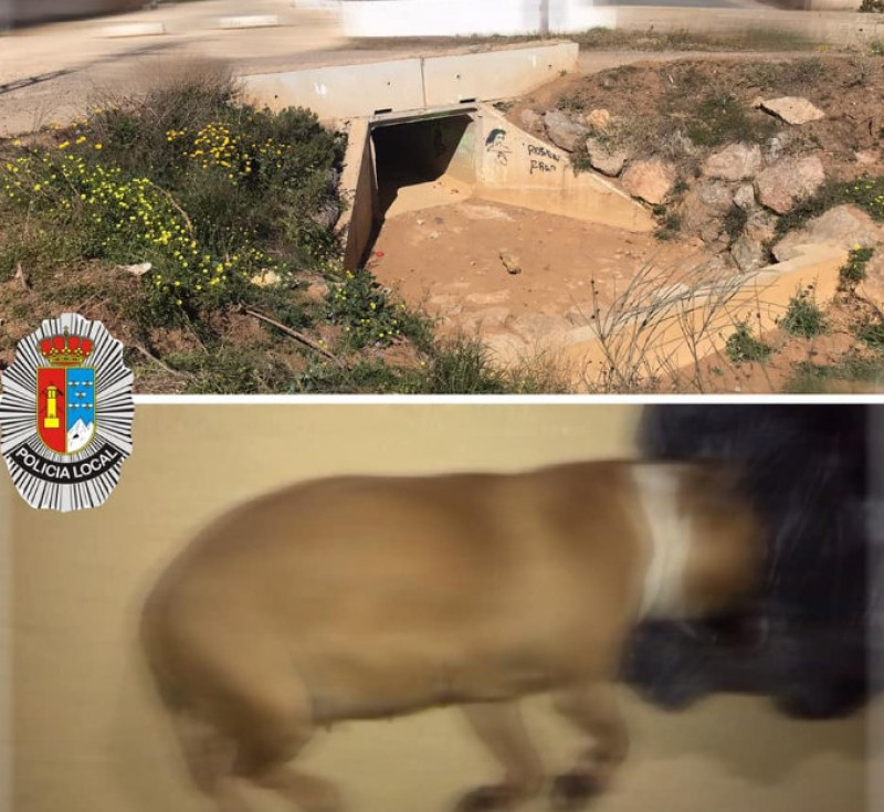 <span style='color:#780948'>ARCHIVED</span> - American Staffordshire Terrier found strangled in La Unión