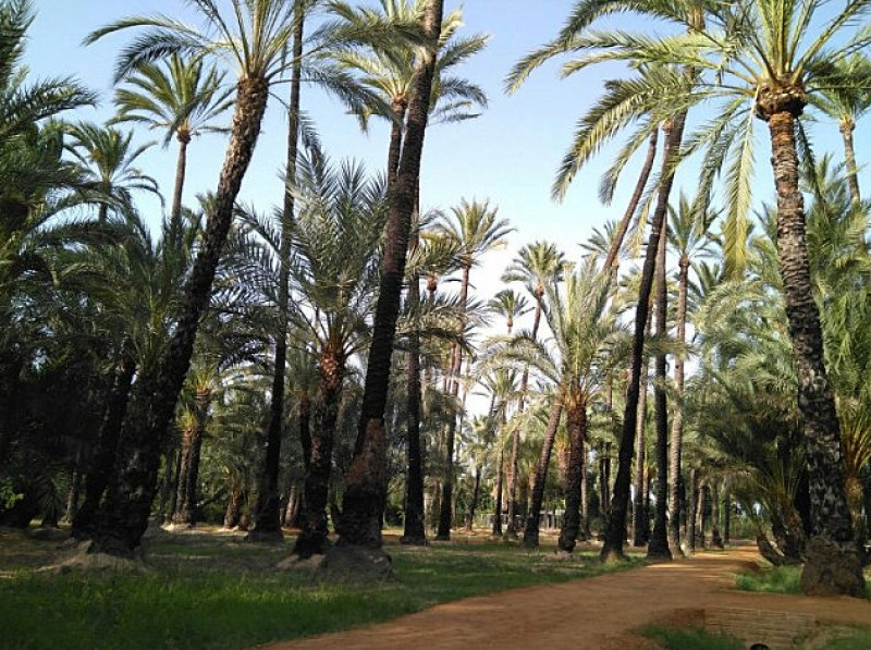 The fight against the red palm weevil goes on in Murcia